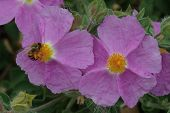 Rock Rose With Bee 1