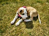 foto of pit-bull  - Beautiful clean photo of american pit bull terrier puppy  resting in grass  - JPG
