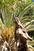 Giraffe's Lunch