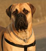 picture of bull-mastiff  - the face and upper body of a bull mastiff - JPG