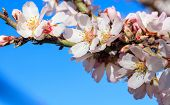 Almond Or Apple Tree Blooming In Spring On Blue Sky Background, Close Up View With Details poster