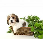 stock photo of bastet  - Cute Cavachon puppy sitting in a bastet with ivy around him on a white background - JPG