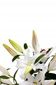 White lilies with copy space