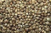 Hemp Seeds Marijuana Grain Texture Background. Marijuana Seed Photo. poster