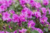 Big Pink Azalea Bush In The Garden. Season Of Flowering Azaleas. poster