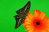 Graphium on orange