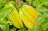Starfruit On Tree