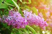 Spring Nature. Pink Bright Lilac Spring Flowers In Spring Blossom - Closeup, Soft Focus And Pastel T poster