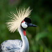 Close-up of a Grey Crowned Crane (Balearica regulorum)