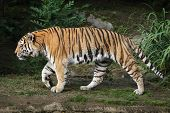 Siberian tiger (Panthera tigris altaica), also known as the Amur tiger. poster