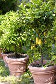 Potted Lemon Trees
