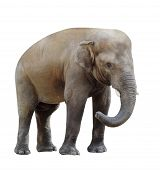 elephant isolated on white background. Little elephant looks into the frame bending the trunk poster