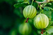 Fresh Green Gooseberries. Growing Organic Berries Closeup On A Branch Of Gooseberry Bush. Ripe Goose poster