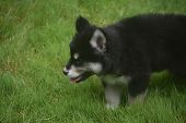 Adorable Siberian Husky Puppy Sticking Its Tongue Out poster