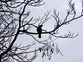 A Single Crow Perched In The Branches Of A Winter Tree In Silhouette poster