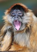 Rare Blue Eyed Spider Monkey Yawning, Chagres National Park, Colon, Panama