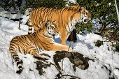 Постер, плакат: Siberian Tigers Panthera Tigris Altaica Resting In The Forest In Winter Snow On The Ground Green