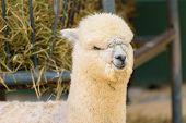 Close-up Portrait Of The Cute Furry Alpaca. poster