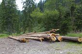 Felled Logs In Coniferous Forest. Bunch Of Felled Trees Near A Logging Site, Timber poster