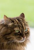 Hypoallergenic Breed Of Cat With Brown Tabby Hair In Relax Indoor. Siberian Purebred Feline With Lon poster