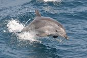 stock photo of gibraltar  - Wild Bottlenose dolphin playing and jumping in the waves of a boat - JPG