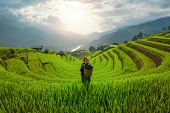 Tribal Woman, Farmer, With Paddy Rice Terraces, Agricultural Fields In Countryside Of Mu Cang Chai, poster