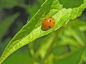 Ladybird (Coccinella Septempunktata) On The Sheet Of Lofant.