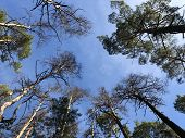 Tall Pine Treetall Dry Pine Trees Against The Blue Sky. The Tops Of Tall Trees In A Pine Forest. Con poster