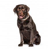 Chocolate Labrador retriever sitting against white background poster