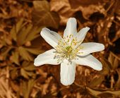 White Windflower In Brown Back