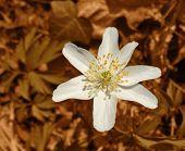 White Windflower In Brown Back