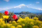 Japan Travel, Mt Diamond Fuji And Snow At Kawaguchiko Lake In Japan, The Front Is A Tulip Field. Mt  poster