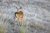 A White Tail Deer Looks Back At The Camera At The National Elk And Bison Range In Montana. poster