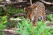 Jaguar in wildlife park of Jucatan in Mexico