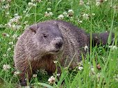 Groundhog In The Clovers