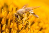 Honey Bee Covered With Yellow Pollen Collecting Sunflower Nectar. Animal Sitting At Summer Sun Flowe poster