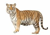 stock photo of wildcat  - Portrait of a Royal Bengal tiger with isolated white background - JPG