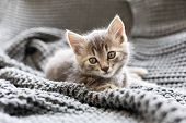 Brown Striped Kitty Sleeps On Knitted Woolen Gray Plaid. Little Cute Fluffy Cat. Cozy Home. poster