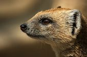 pic of bestiality  - Meerkat in profile looks into the distance - JPG
