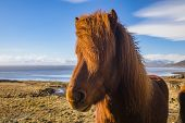Icelandic Horses. The Icelandic Horse Is A Breed Of Horse Developed In Iceland. poster