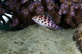 pic of hawkfish  - Pixie hawkfish  taken in the Red Sea - JPG