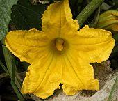 Zuccini Flower