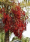 Palm Kernel On Tree.
