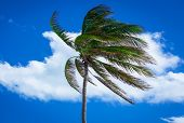 palm tree in a strong wind
