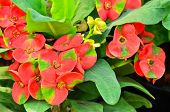 picture of poi  - Red Poi Sian flowers blooming  for you to use everything - JPG