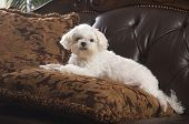 picture of cute dog  - Maltese Puppy Relaxing on Her Pillow on the Couch - JPG