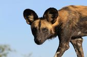 stock photo of wolf-dog  - African Wild Dog  - JPG