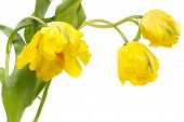 Yellow Parrot Tulips