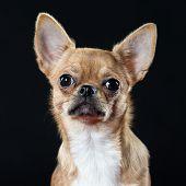 Headshot Of An Alert Chihuahua