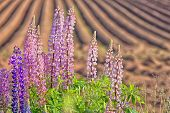 Wild lupins along a freshly plowed farm field in rural Prince Edward Island, Canada.